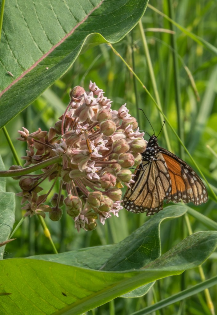 Red Butterfly Milkweed Asclepias Curassavica Red: Monarch And Red Admiral Butterflies At Beechwood / Don